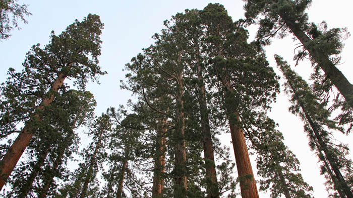 I Want To Be A Tree: Learning To Trust From A Mighty Sequoia