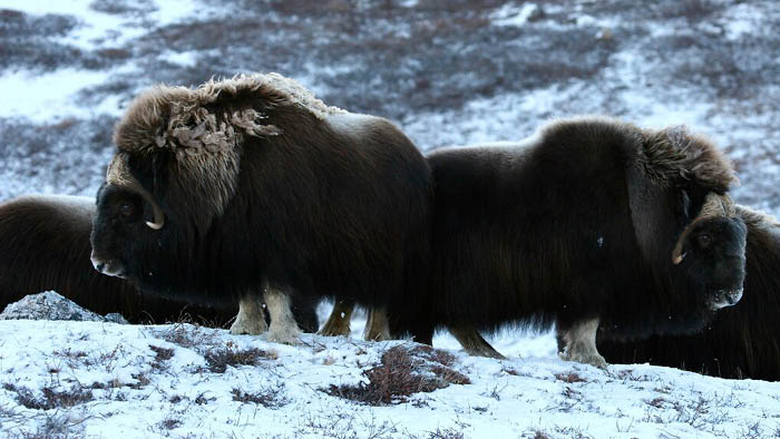 Where Is Christ Community Most Vulnerable In 2021? (Or: What Muskoxen Can Teach Us About Spiritual Warfare)